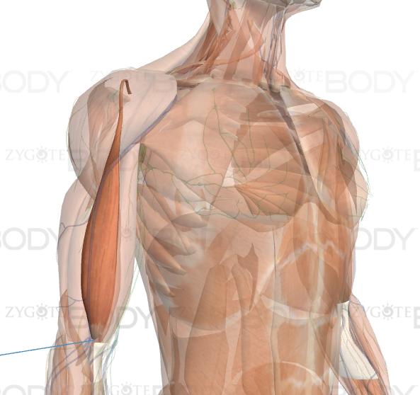Vista lateral do bíceps - cabeça longa
