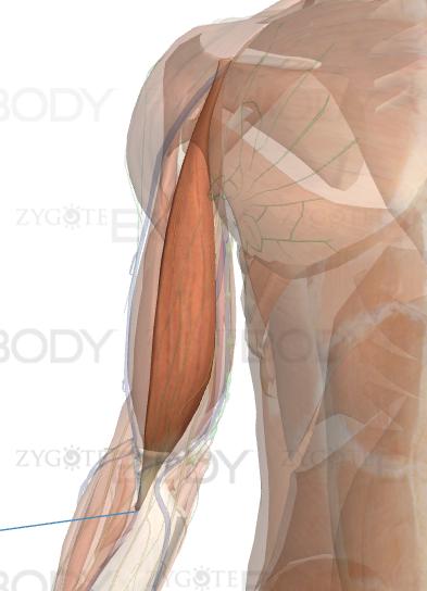 Cabeça Media do Biceps